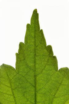 양배추의 잎 끝 (한장 잎 끝) 2