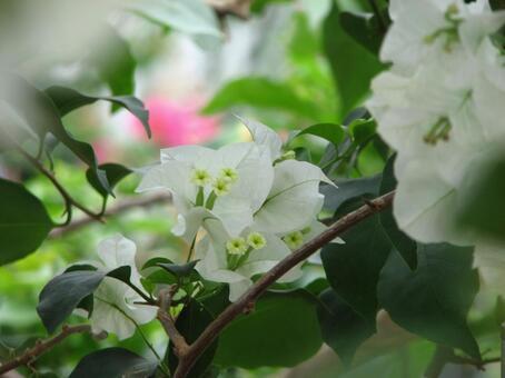 흰색 부겐빌레아 1