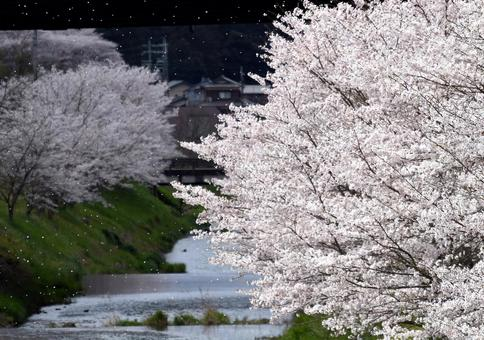 Sakura dancing river and row of cherry blossom trees