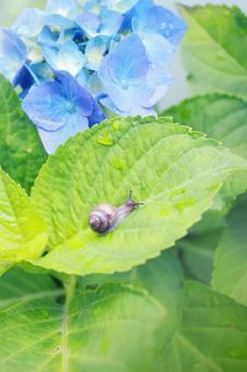 藍色繡球花和蝸牛