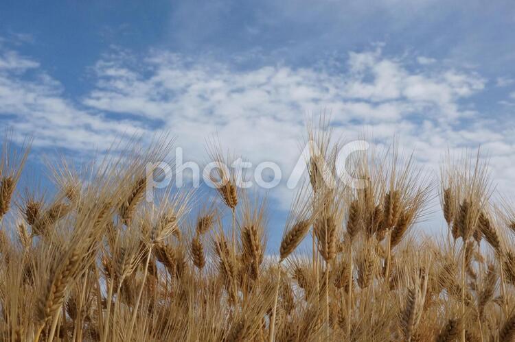 小麦色の小麦の写真