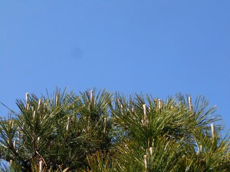 소나무 잎과 푸른 하늘