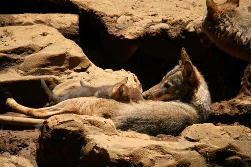 Wolf and child (Tyricu wolf)