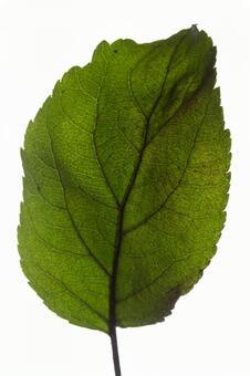 녹색 한장 잎 (타원) 7