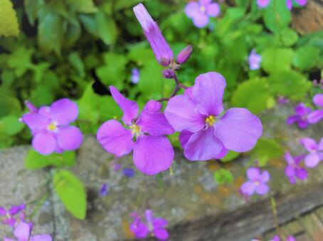 보라색 꽃 하나 다이 콘