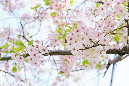 葉桜의 계절