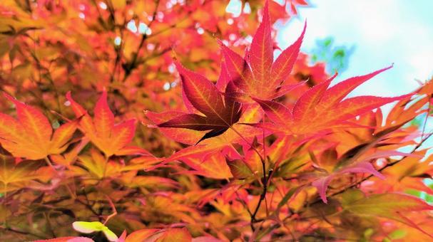 Autumn leaves on the promenade 001