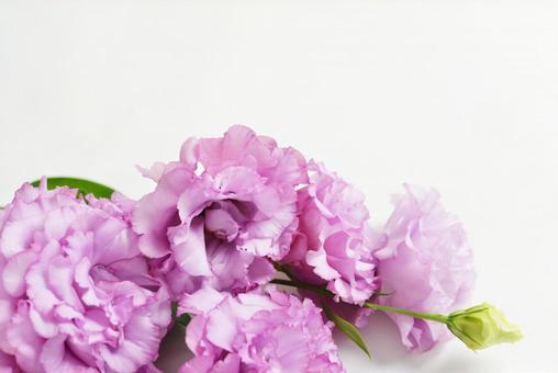 Purple Turkish bellflower