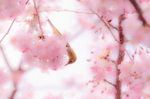 Birds and cherry blossoms 1