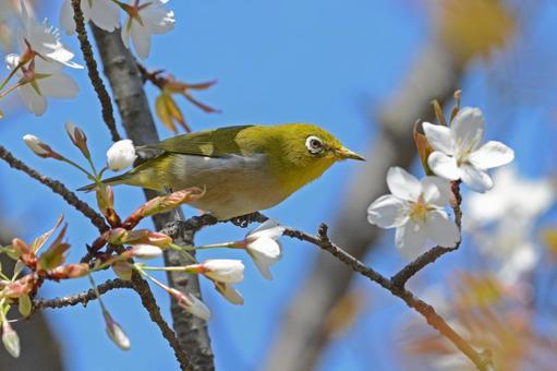 산 벚나무와 동박새