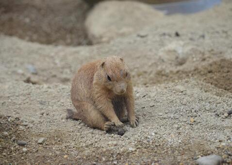 Prairie dog 5 gymnastics?