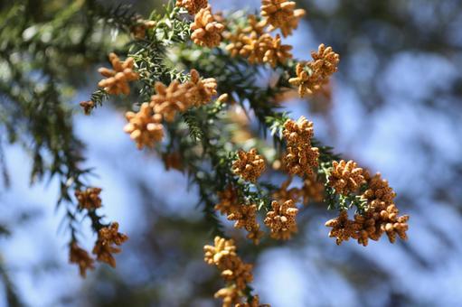 Pollen scattering season