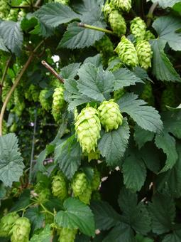 Image material of hop field (Tono City, Iwate Prefecture)