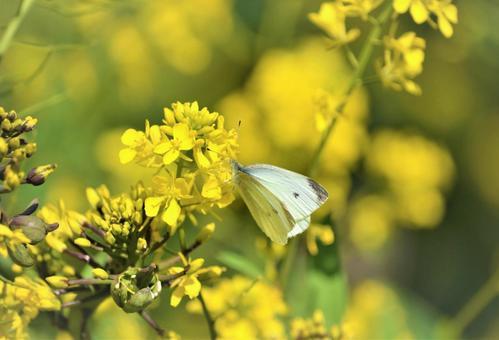 유채 꽃밭의 나비