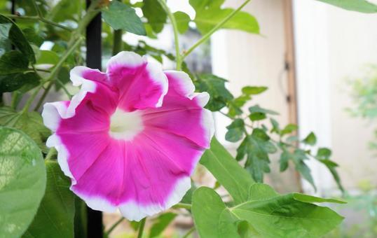 Morning glory pink