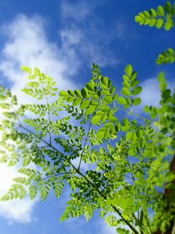 Moringa of Okinawa