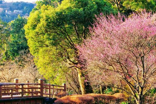 Atami Plum Garden's red plum and wooden bridge