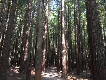 Forest bathing on the planted Sequoia cedar forest road
