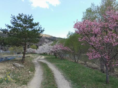 후쿠시마시 飯坂町茂庭 캠프장 산 벚나무