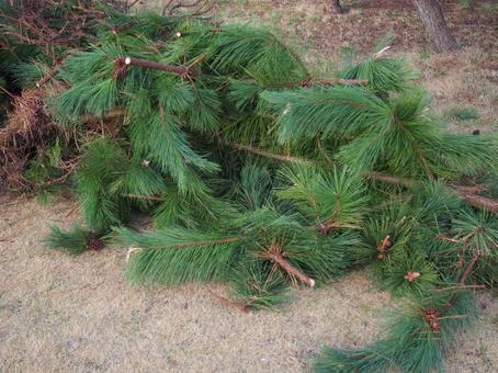 伐採された松