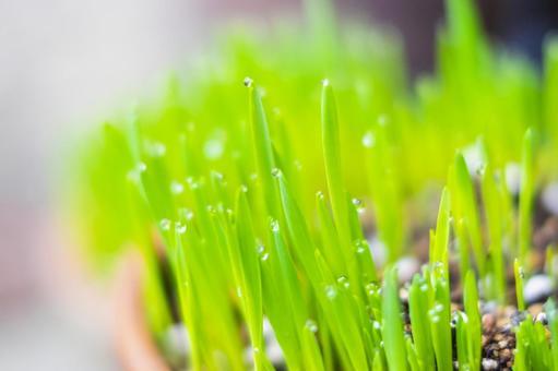 Grow cat grass