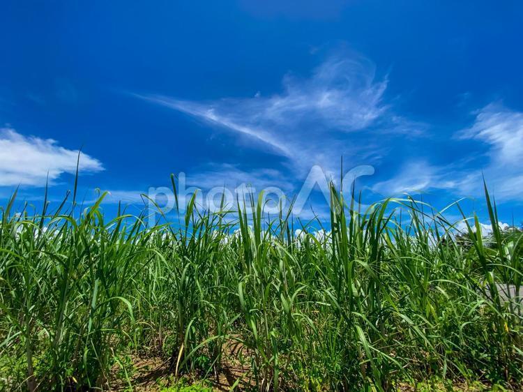 夏の沖縄の青空とサトウキビ畑02の写真