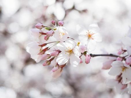 만개 한 벚꽃 업