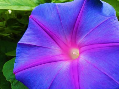 Ryukyu morning glory (crystal blue) ②