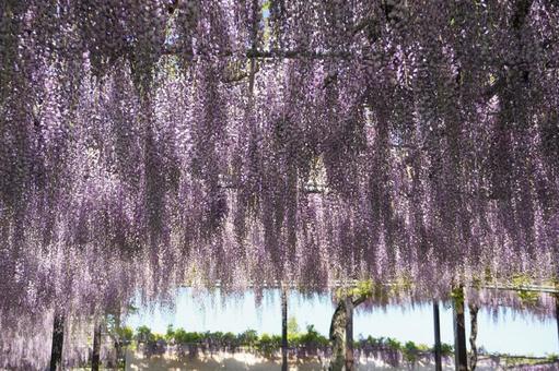 등나무 꽃 긴 꽃