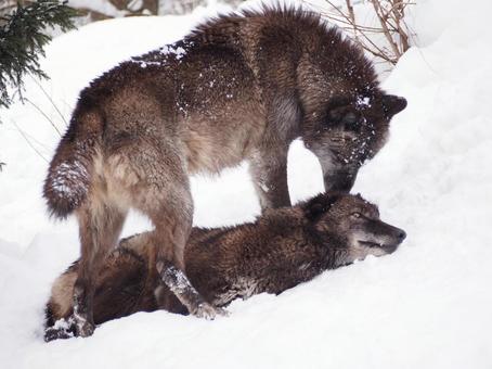 Wolf in winter 1