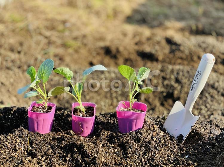 野菜の苗3つとおしゃれなスコップの写真