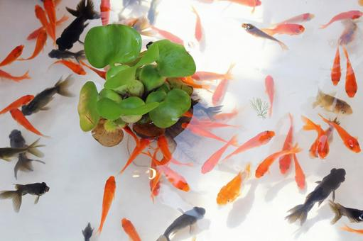Goldfish scooping 1