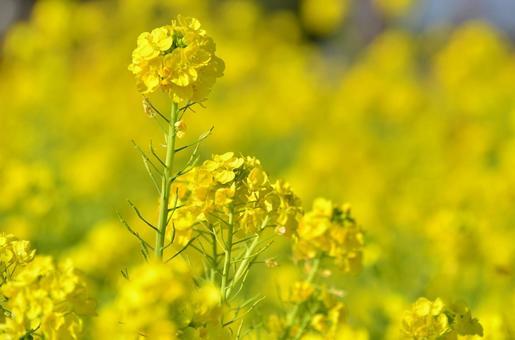 유채 꽃 3