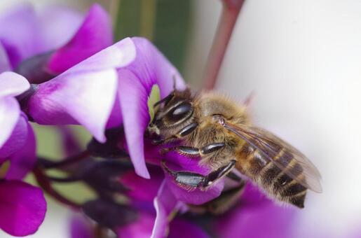 Honey Bee Stopping in Harden Bergia