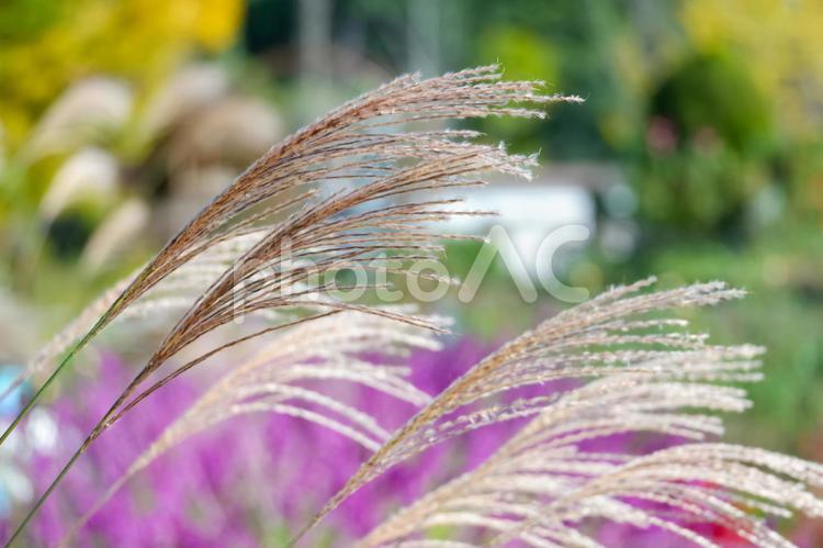 すすきの穂の写真