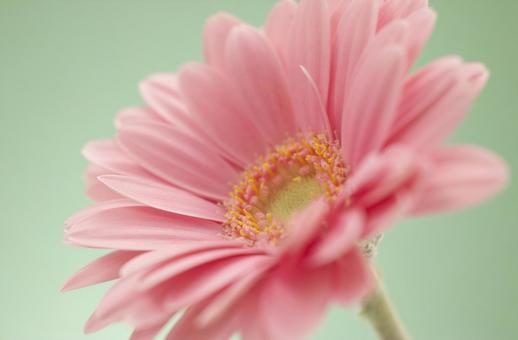 Gerbera - Pink -3