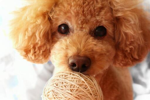 Looking toy poodle