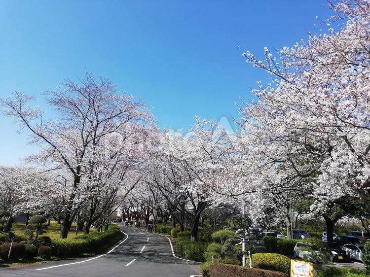 さくら荘(茨城県取手市)の桜の写真