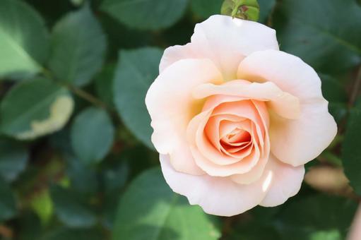 밝은 핑크의 우아한 장미