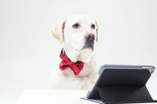红领结拉布拉多犬1