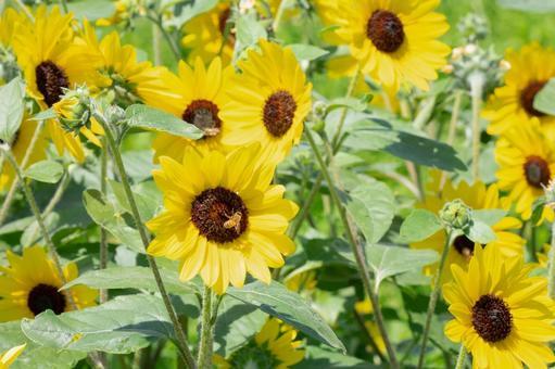 夏だ、ひまわりの花