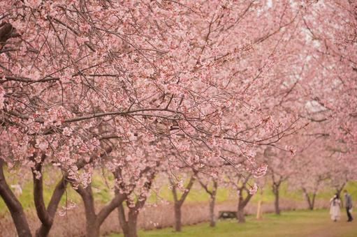 만개의 벚꽃길