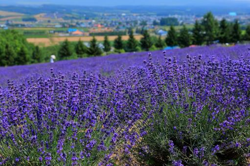 Flower Land Kamifurano Lavender Field Background Blurred Urban Area