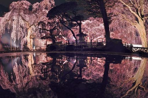 Illuminated weeping cherry tree at Seiunji Temple