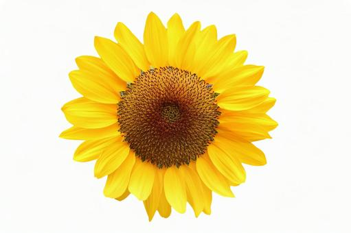 Sunflower White Background 1