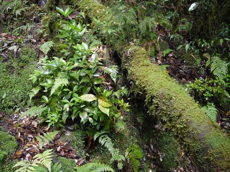 屋久島蕨類植物2