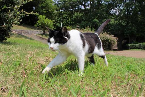 Black and white local cat walking calmly