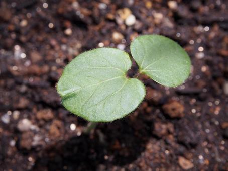 Okra germination
