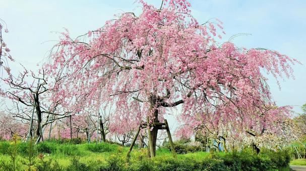 Weeping cherry tree Higashiiyama fruit park Nagoya-shi Moriyama-ku