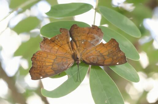 낙엽처럼 나비